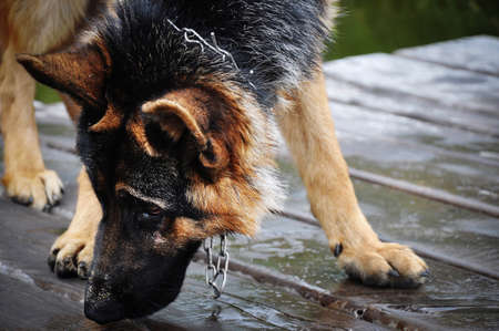 Wet thoroughbred german shepherd on the pier photo