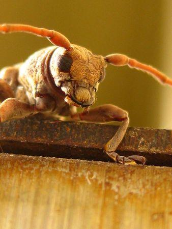 borer: Hairy Borer Beetle Face Stock Photo