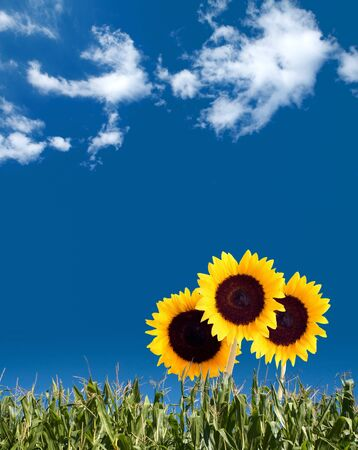 Summer concept image with sunflowers stretching out into the beautiful blue sky. Stock Photo - 10385610
