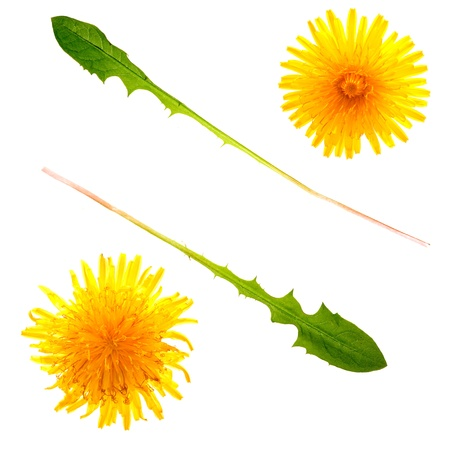 entire: Isolations of two beautiful dandelion flowers and leaves. Use the individual parts, or the entire background in your designs!