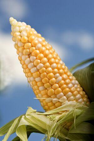 elote: Peladas maíz dulce orgánica en la cob contra un fondo de la naturaleza. Foto de archivo