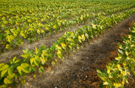 maturing: Maturing cotton plants at sunrise in early summer. Stock Photo