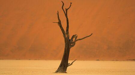 acacia tree: Dead Acacia tree  sossusvle, namibia