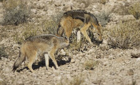 Black Backed Jackals  photo