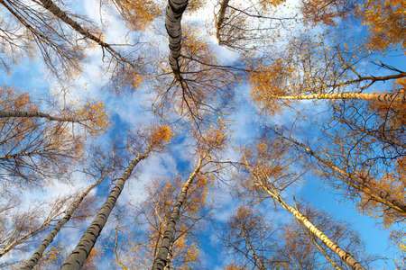 directly below: Looking up in a birch trees  Beautiful nature background  Low angle shot  Stock Photo