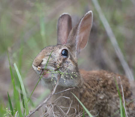 Wild Florida cottontail rabbit (Sylvilagus floridanus) with cleft palate and very bad teeth, eating grasses, teeth poking through cleft; cute, funny and adorable, animated expression