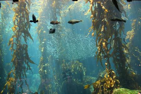 alga marina: Bancos de peces nadan a trav�s de un bosque de algas marinas en la exhibici�n en el Acuario de Monterey Bay, Monterey CA.