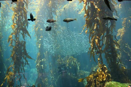 Schools of fish swim through a kelp forest on display at the Monterey Bay Aquarium, Monterey CA. Stok Fotoğraf