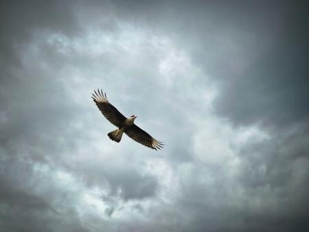 falconidae: P1090212 Crested Caracara in Flight Tayrona National Park Santa Marta Colombia South America