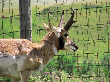 A pronghorn antelope peers through a fence in the Black Hills of South Dakota. Stock Photo