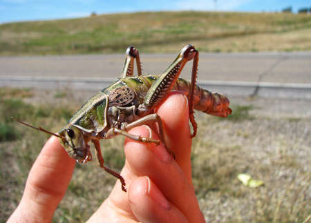 wingless: A huge grasshopper in sits on a persons hand on a sunny day in South Dakota.