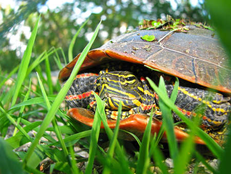 A painted turtle rests in the grass