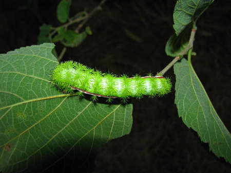 spiny: An Io moth caterpillar displays spines capable of inflicting a painful sting.