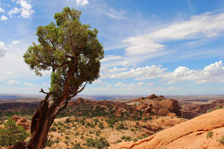 A lone, wind blown tree endures another scorching summer day in Canyonlands National Park in Utah.