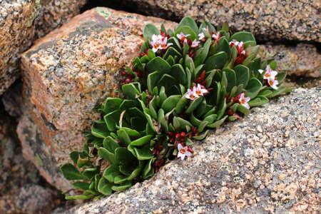 colorado rockies: High altitude pink wildflowers thrive in the Colorado Rockies.