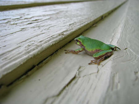 tiny frog: Closeup of a small green tree from resting on a painted wood surface Stock Photo