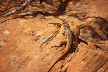 A fence lizard sits in the desert sun on sandstone boulder.