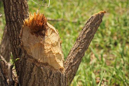 A stump bearing the teeth marks of a beaver.