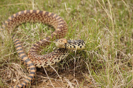 A bull snake takes a defensive position while sampling the air with its tongue. Stok Fotoğraf - 79082535
