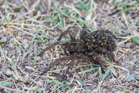 A large female wolf spider carries a load of offspring on her back.