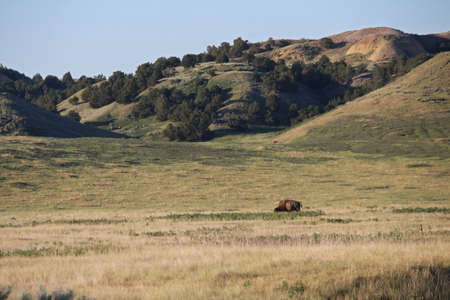 An American bison grazes alone in the grasslands of South Dakota. Stock Photo