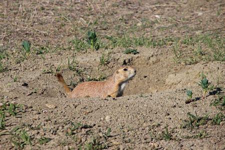 A South Dakota prairie dog guards his burrow.