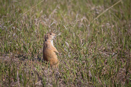 A prairie dog sits upright watching for predators. Stock Photo