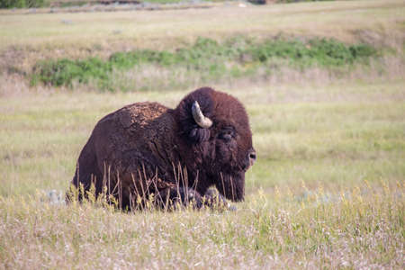 An American bison lays alone in the grasslands of South Dakota.