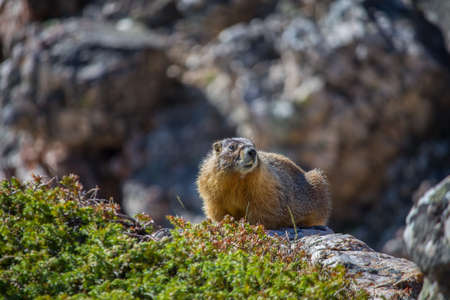 A yellow bellied marmot rests atop a boulder in the Rocky Mountains.