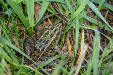 A leopard frog sits in the grass.