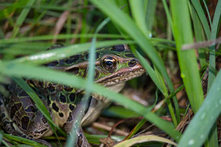 A northern leopard frog peeks between blades of grass. Stock Photo