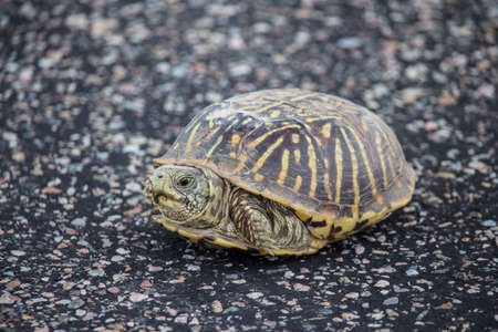 A small box turtle rests on a paved surface.