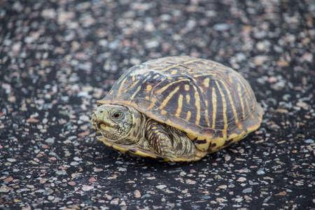 Een kleine doosschildpad rust op een verhard oppervlak.