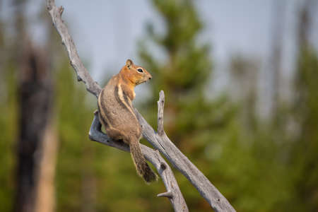 A chipmunk calmly rests on a dead branch. Stock Photo
