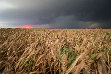 A supercell thunderstorm dumps rain over crops of sorghum in Kansas at sunset.