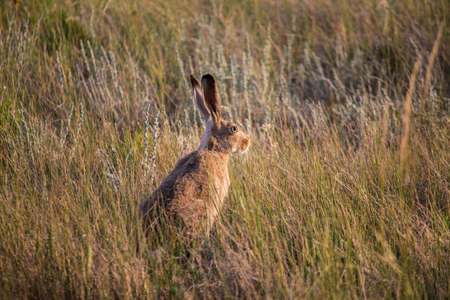 A jackrabbit sits in the dry prairie grass with ears alert for predators. Stock Photo