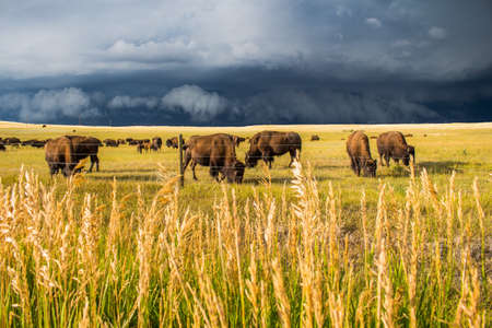 A herd of bison graze on the sunlit plains as a dark storm approaches. Stock Photo
