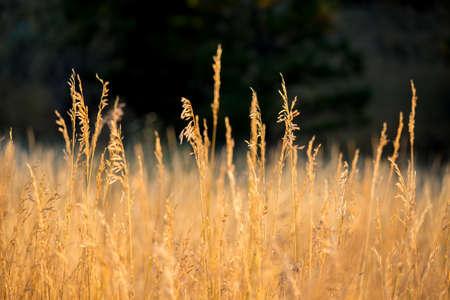 Dry grass in the sun on a still autumn morning.