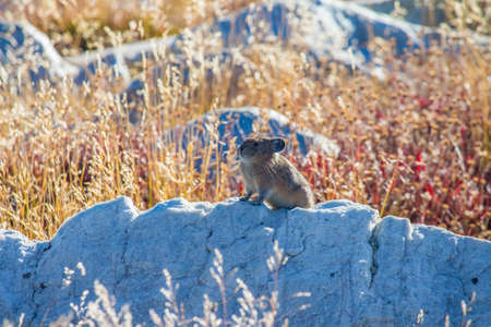 A pika sits on top of a white boulder surrounded by dry grass.
