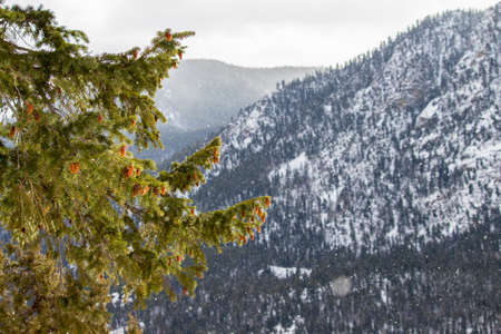 Green pine branches in the sunlight with lightly falling snow in the mountains. Stock Photo