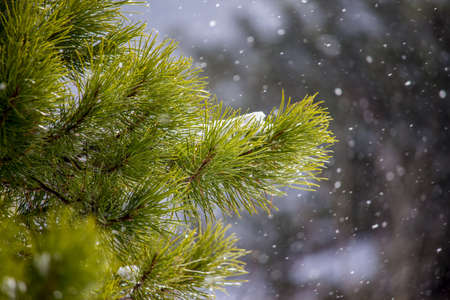 Green pine branches with lightly falling snow in the winter, a Christmas scene. Stock Photo
