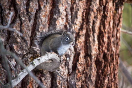 A gray pine squirrel, also called a chickaree, sits on a dead branch keeping an eye out for predators.