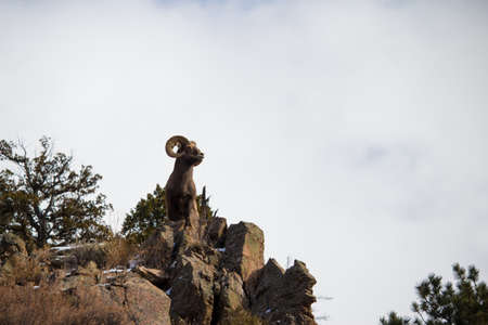 An adult bighorn sheep holds a majestic pose atop a cliff in the Rocky Mountains.
