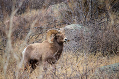 An adult bighorn sheep grazes in the foothills of the Rocky Mountains.