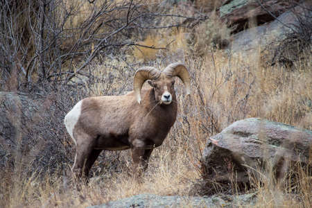 A bighorn sheep ram chews on dry grass in the foothills of the Rocky Mountains.