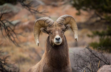 Close up of a bighorn sheep ram chewing on a piece of grass.