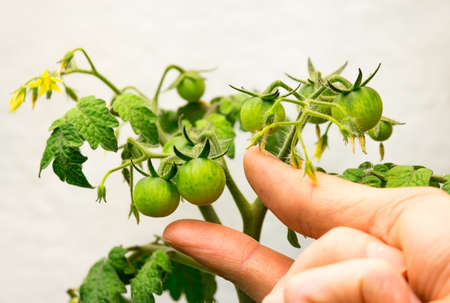 A person's hand reaches for a green cherry tomato growing in an indoor garden.