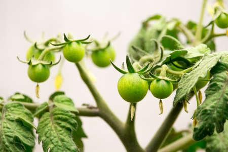 Green cherry tomatoes growing in an indoor garden under artificial light. Stock Photo