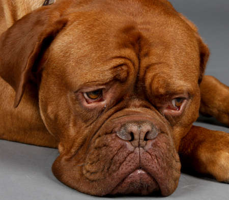 Sad Looking Brown Dog lays his head down on the floor to wait Dogue de Bordeaux