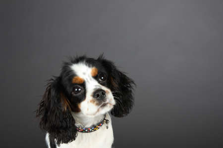 curiously: Tri colored Cavalier King Charles Spaniel with Jewelled collar, curiously cocks head in studio portrait with a gray background, leaving lots of copy space